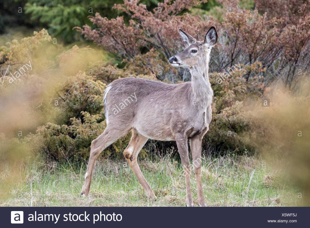 White-tailed Deer (Odocoileus virginianus), Barrie Island, Manitoulin Island, Ontario, Canada Stock Photo