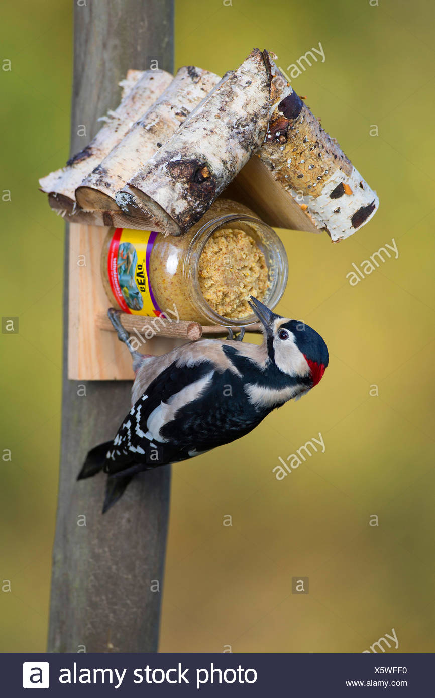 Great spotted woodpecker (Picoides major, Dendrocopos major), at the feeding site, Germany - Stock Image
