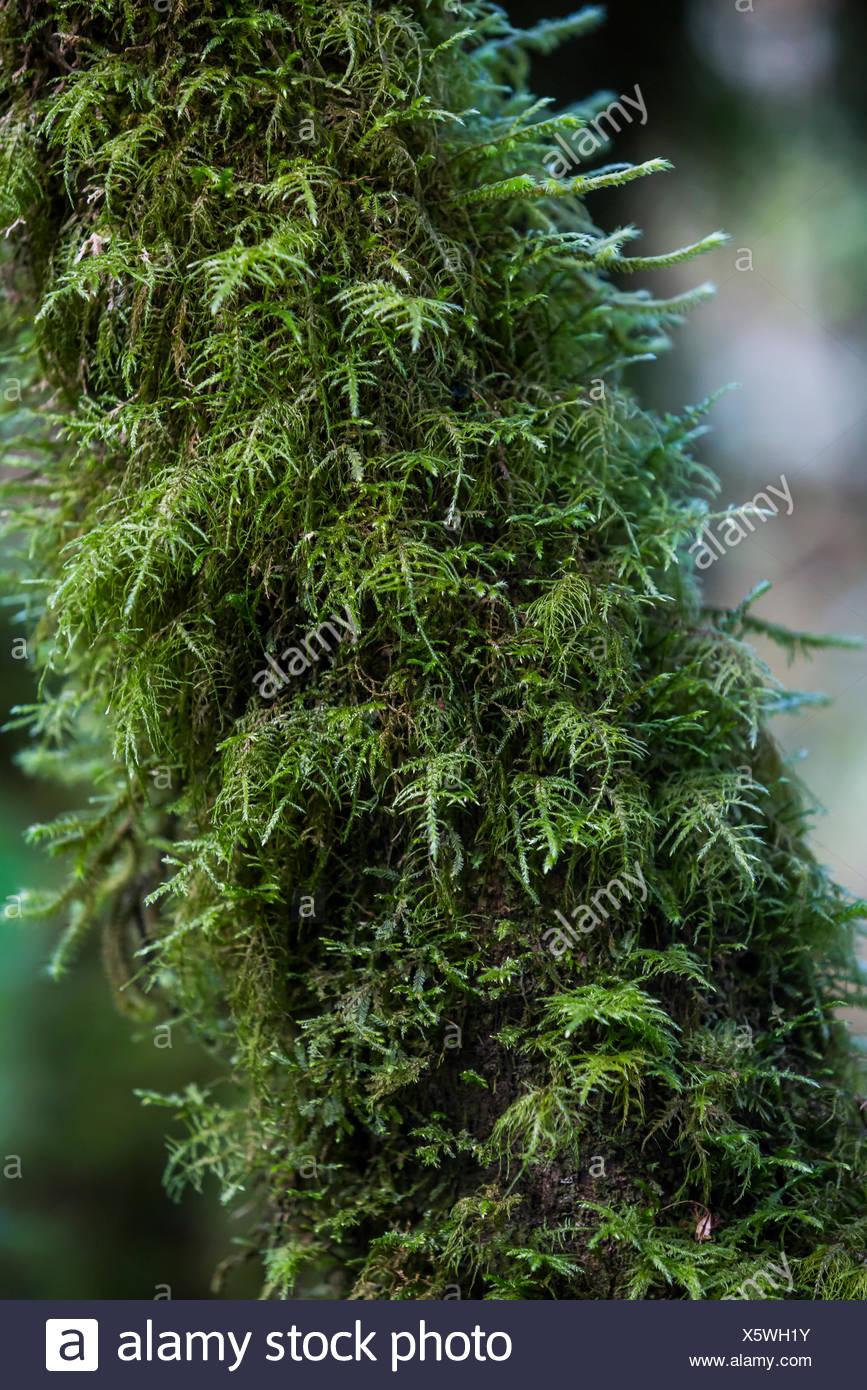 Green moss growing on a tree in Guatemala. Stock Photo