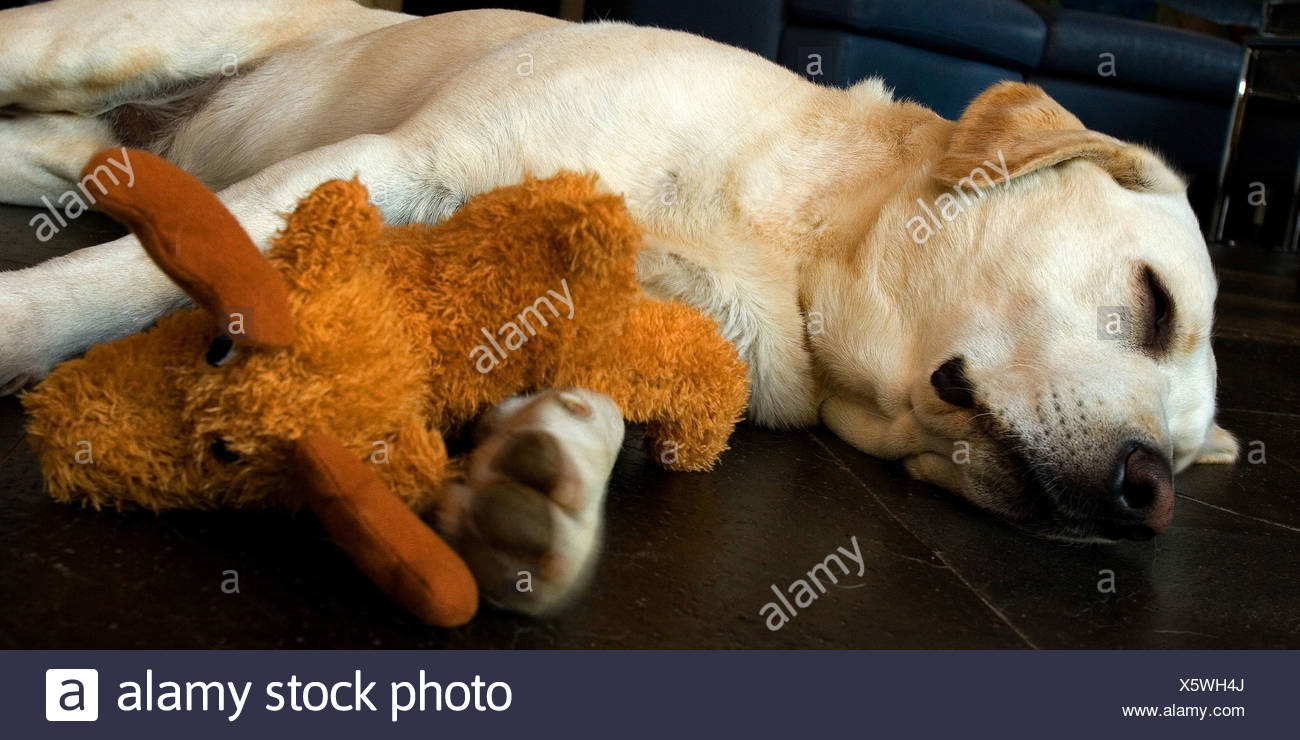Labrador Retriever (Canis lupus f. familiaris), sleeping with cuddly toy - Stock Image