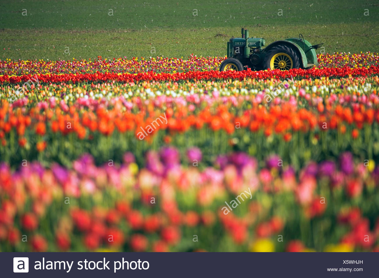Tractor In Tulip Field - Stock Image