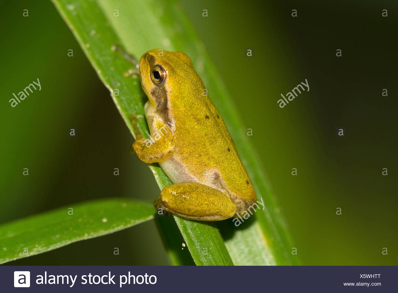 European treefrog, common treefrog, Central European treefrog (Hyla arborea), juvenile, after the end of the metamorphosis, Germany, Bavaria, Isental - Stock Image