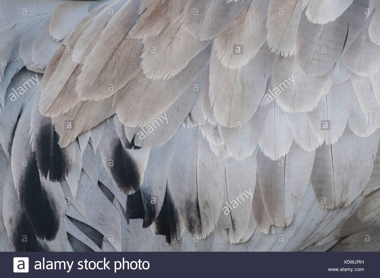 crane plumage, grus grus, germany Stock Photo