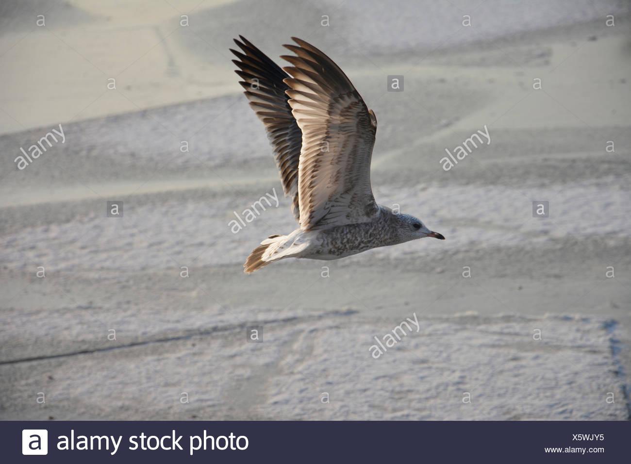 Eine Möwe fliegt über Eisschollen Stock Photo