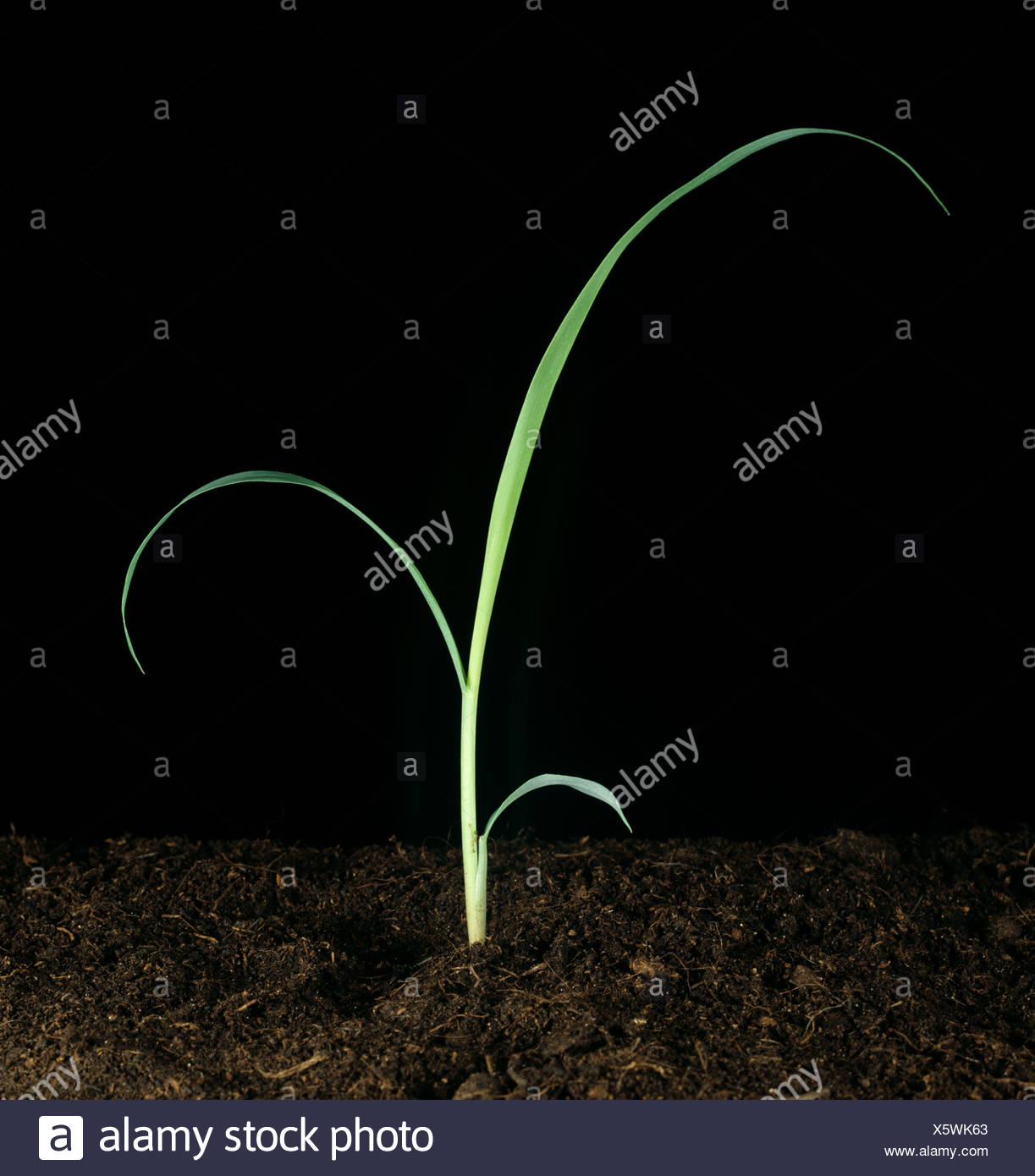 Johnson grass (Sorghum halepense) seedling grass weed - Stock Image
