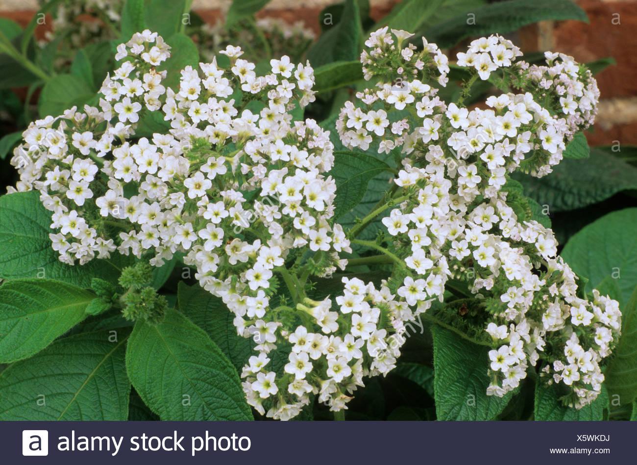 Heliotropium White Lady Heliotrope Heliotropes White Flower