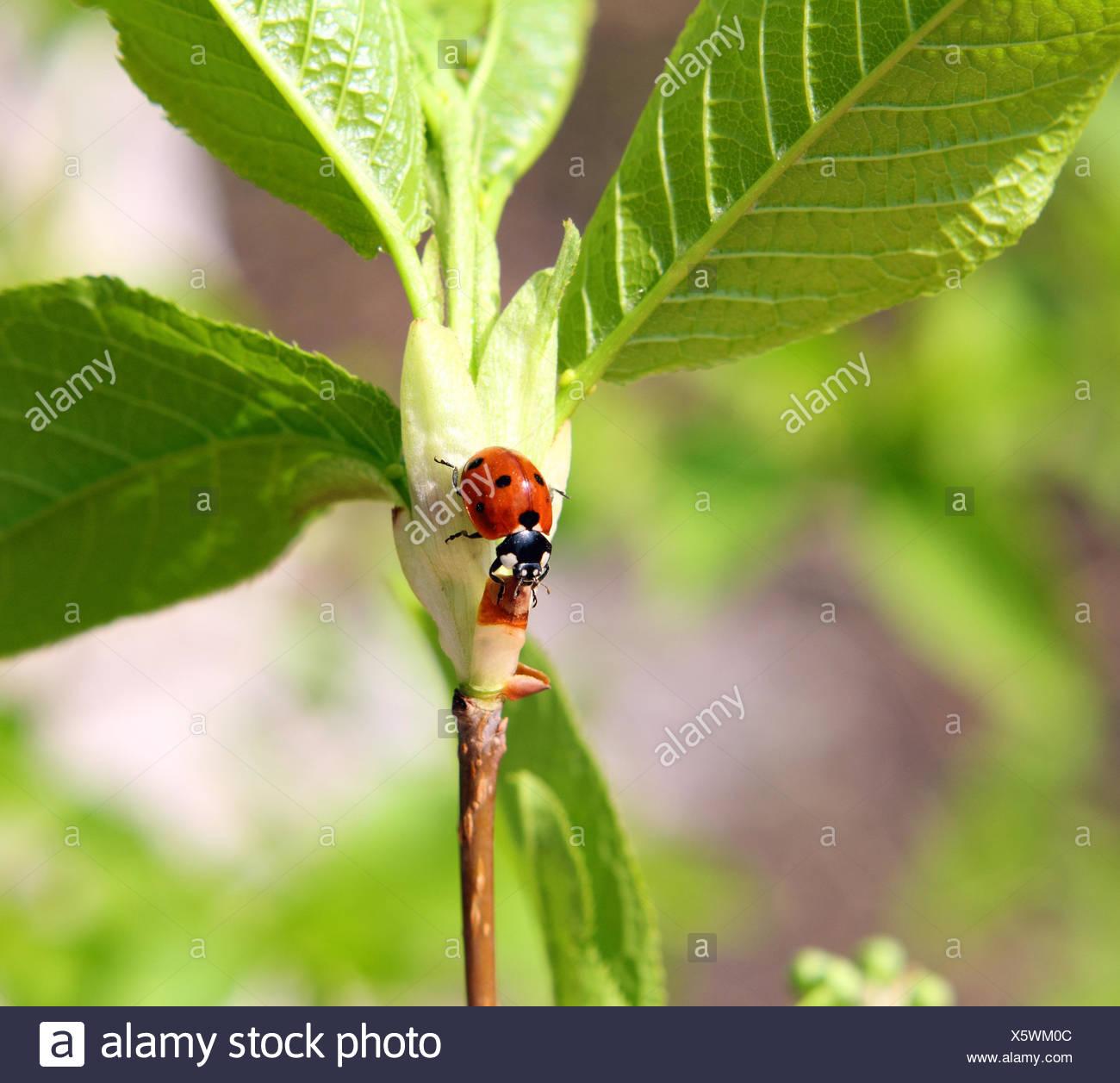 ladybug on twig - Stock Image