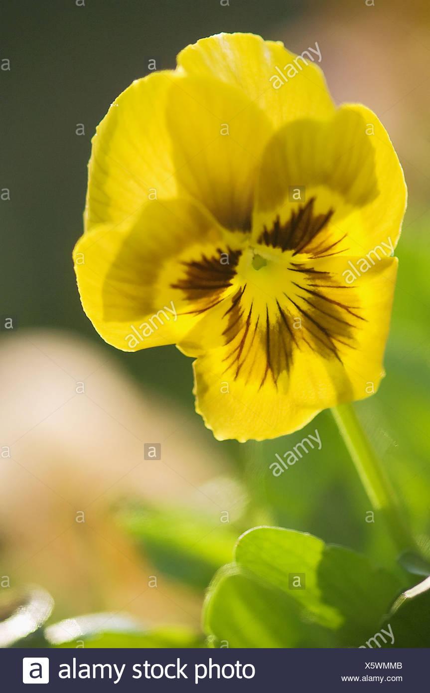 Yellow Pansy Flower Viola X Wittrockiana Stock Photo 279004219 Alamy