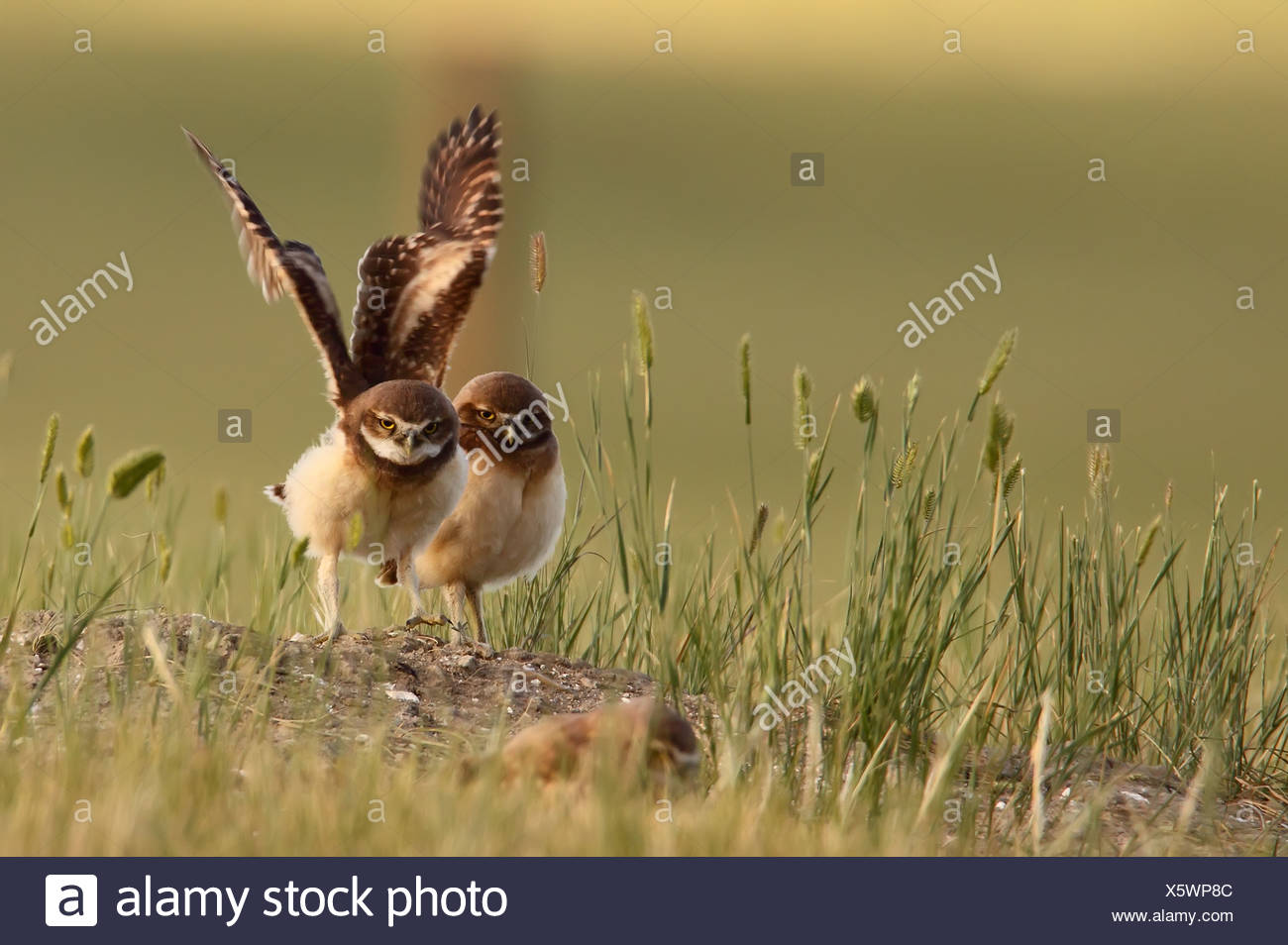 Digitally enhanced image with painterly effect of Burrowing owl stretching wings, Grasslands National Park, Saskatchewan - Stock Image