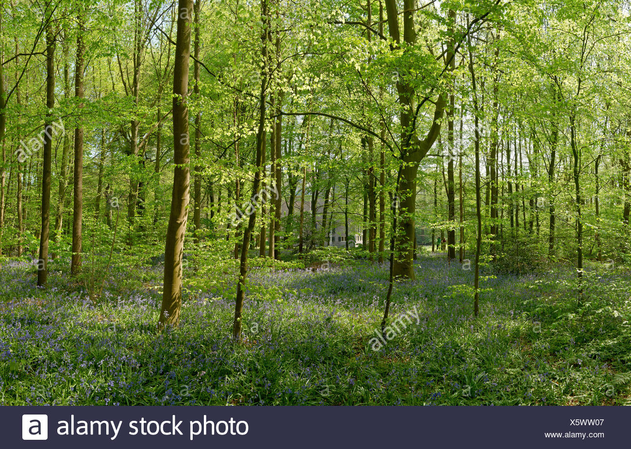 Netherlands, Holland, Europe, Oegstgeest, Blue-bells, park, Oud Poelgeest, landscape, flowers, trees, spring, forest - Stock Image