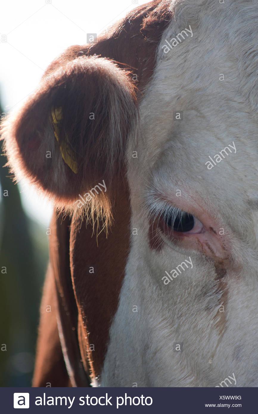 Cow Eyelashes Stock Photos Cow Eyelashes Stock Images Page 2 Alamy