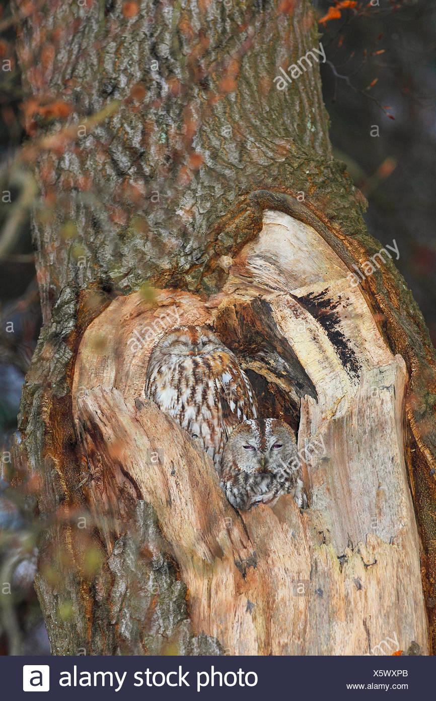 Waldkauz, Wald-Kauz (Strix aluco), ruht in einer Baumhoehle, Deutschland   Eurasian tawny owl (Strix aluco), sleeping in its tre Stock Photo