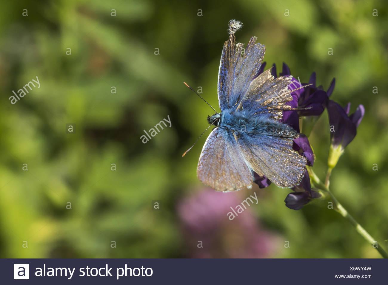 Chalkhill blue (Polyommatus coridon) - Stock Image