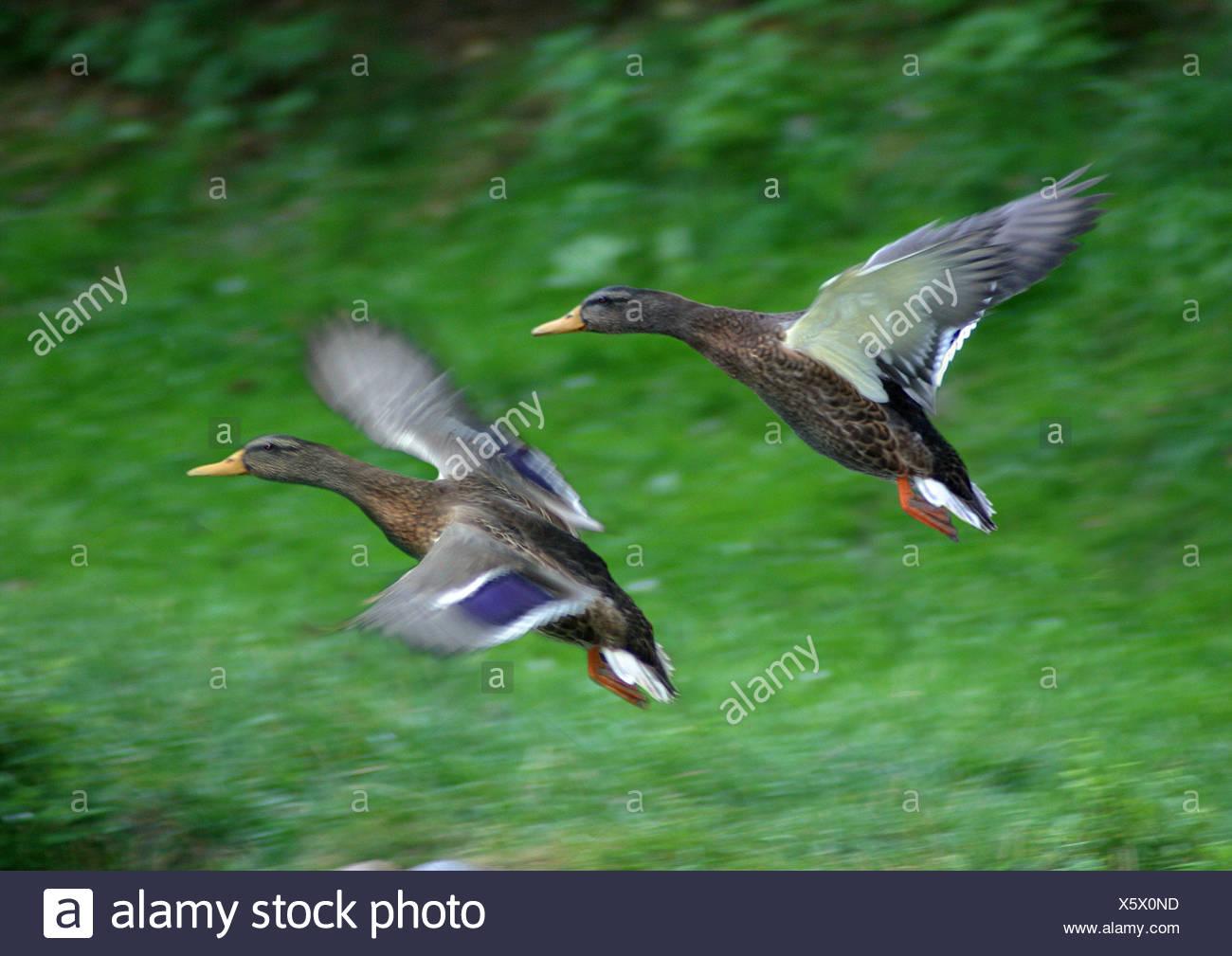 mallard (Anas platyrhynchos), pair, flying - Stock Image