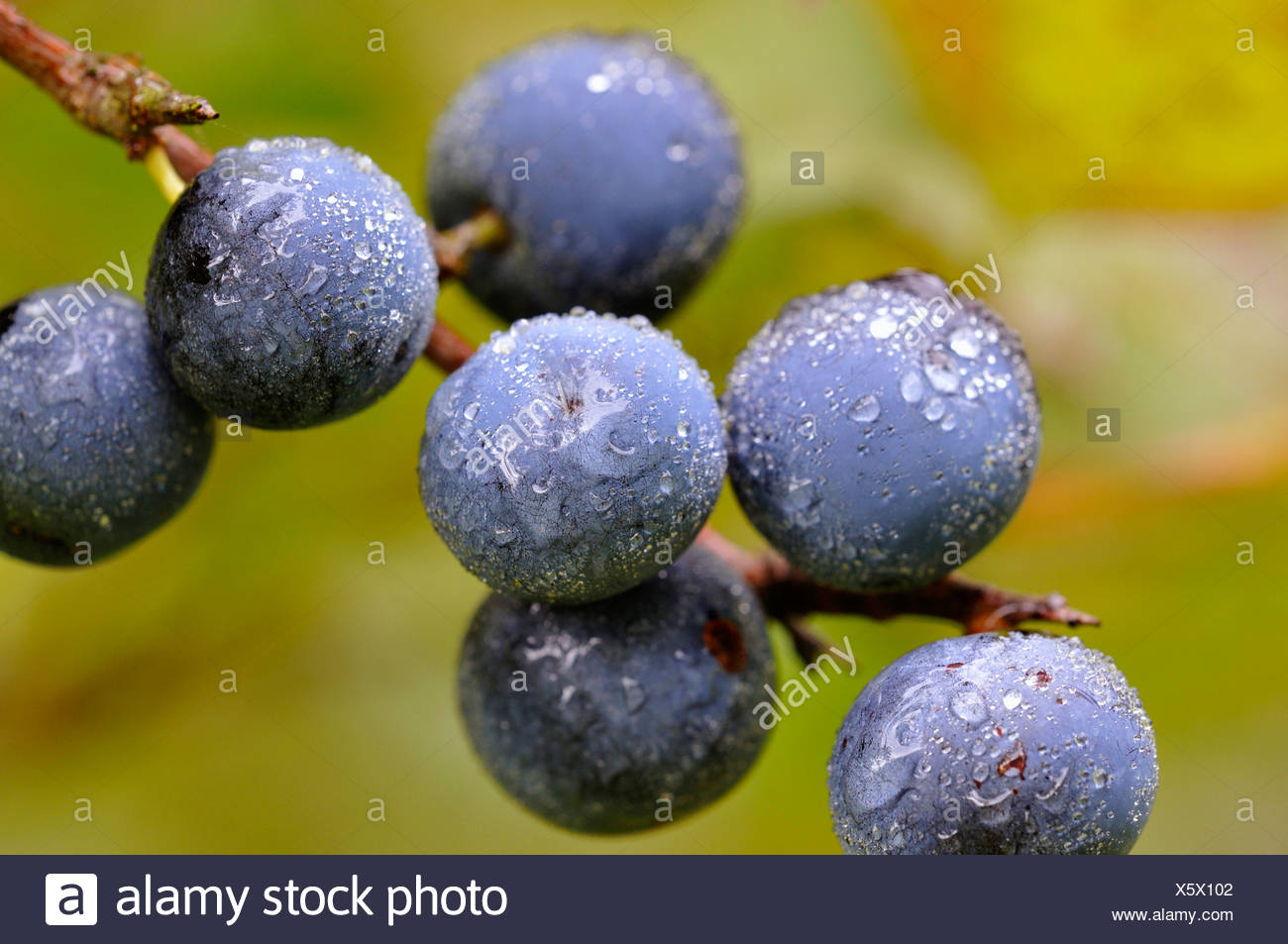 blackthorn, sloe (Prunus spinosa), fruits of the blackthorns, Germany - Stock Image