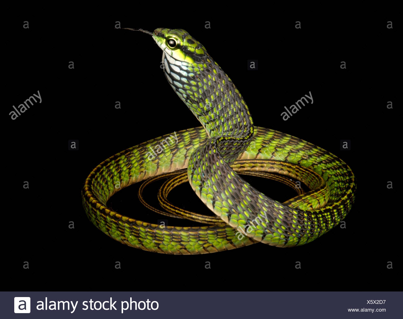 A Large-eyed green tree snake, Rhamnophis aethiopissa. - Stock Image