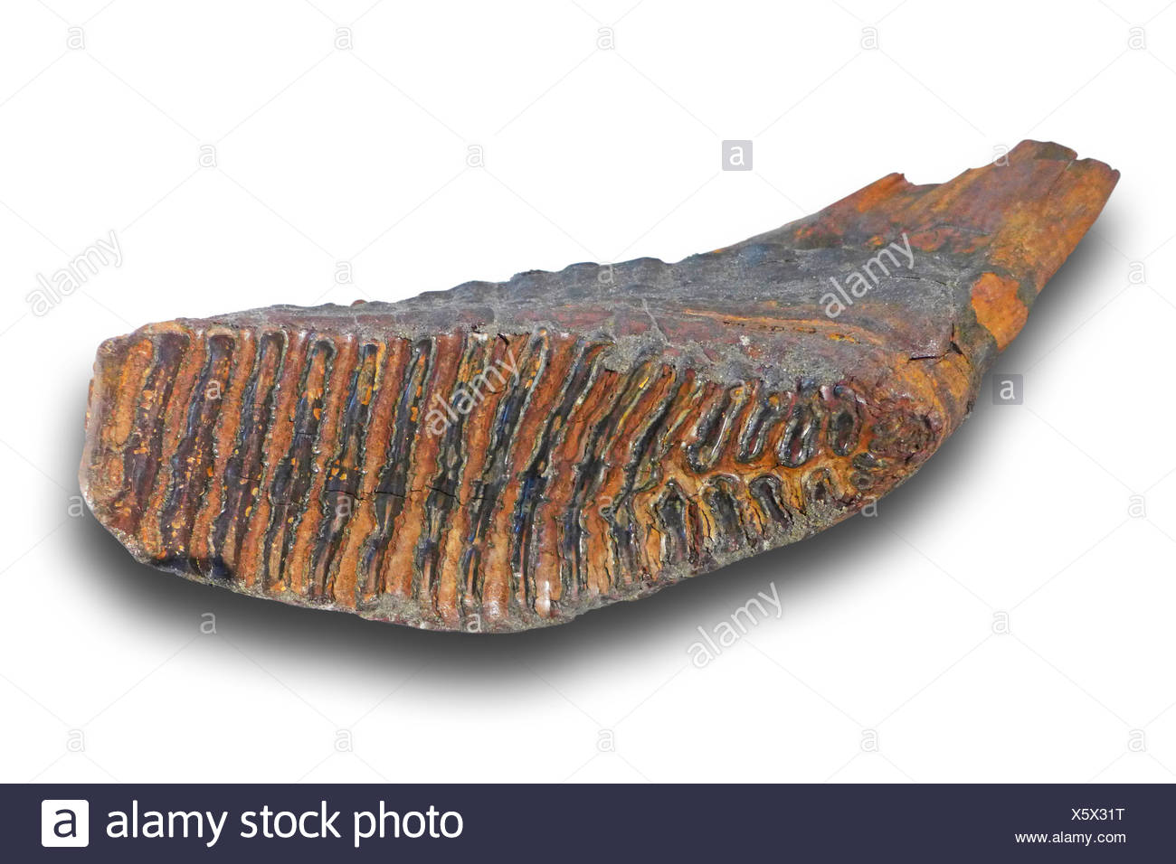 Woolly mammoth (Mammuthus primigenius), molar of a Wooly mammuth (quarternary 100.000-10.000 years), locality: Netherlands - Stock Image