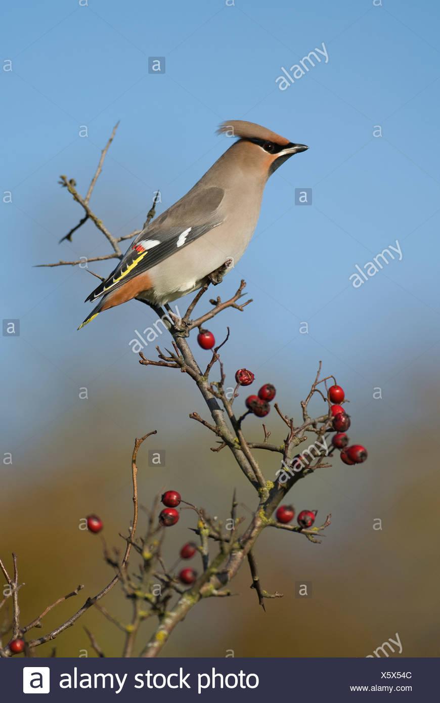Scandinavia, Sweden, Oland, Waxwing bird perching on branch, close-up - Stock Image