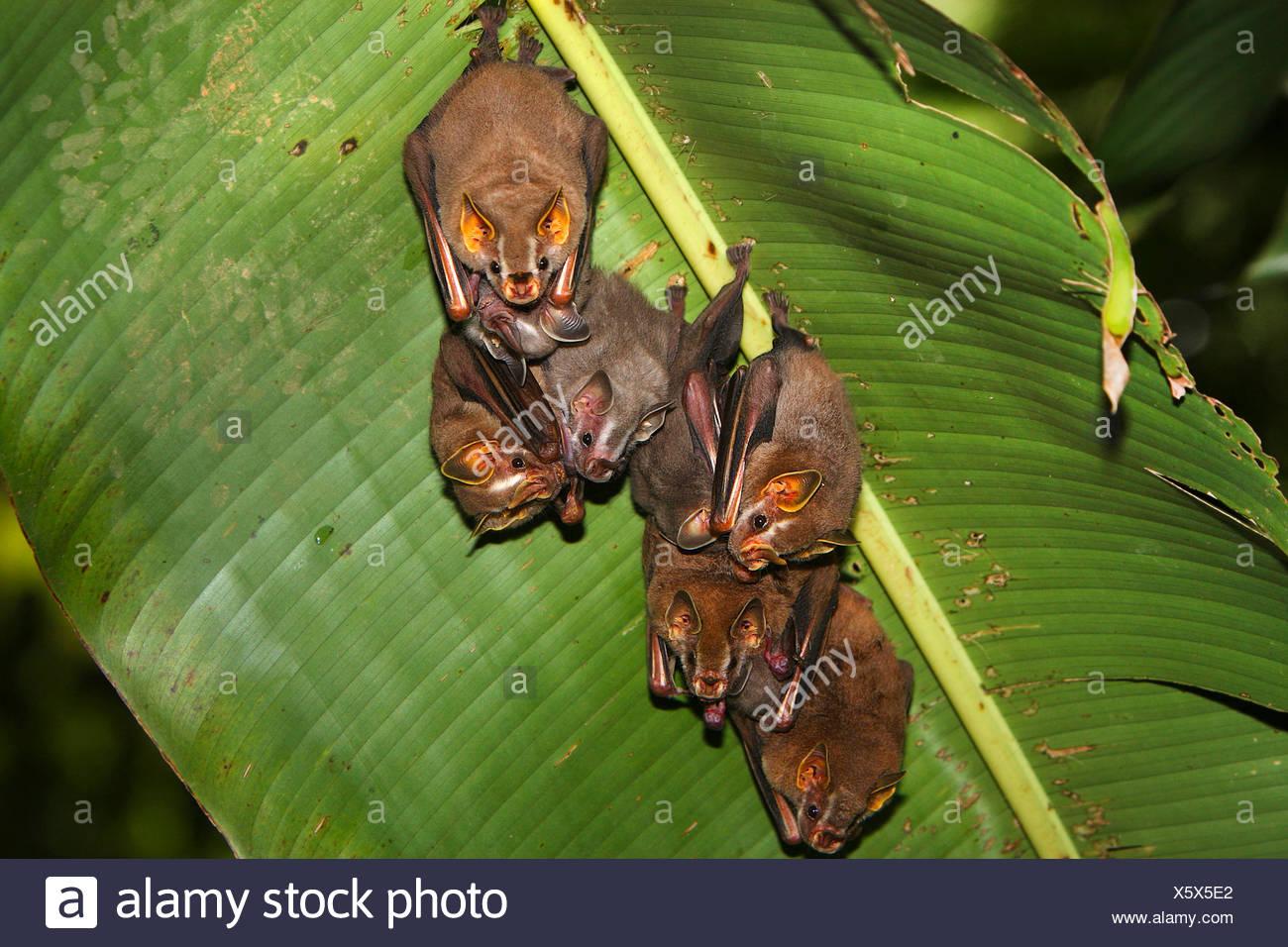 Peters' tent-making bat, Tent-Making-Bat (Uroderma bilobatum), group hangs under a banana leaf, Costa Rica Stock Photo