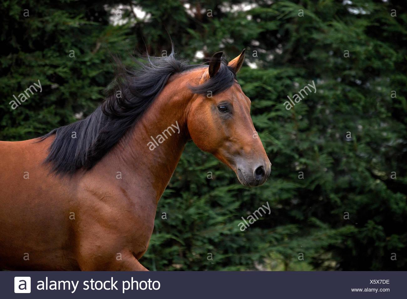Appaloosa Horses Stock Photos & Appaloosa Horses Stock