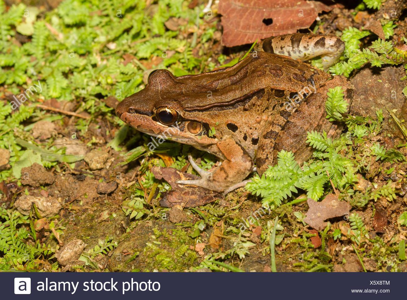 Bolivian frog, Central America, Costa Rica - Stock Image