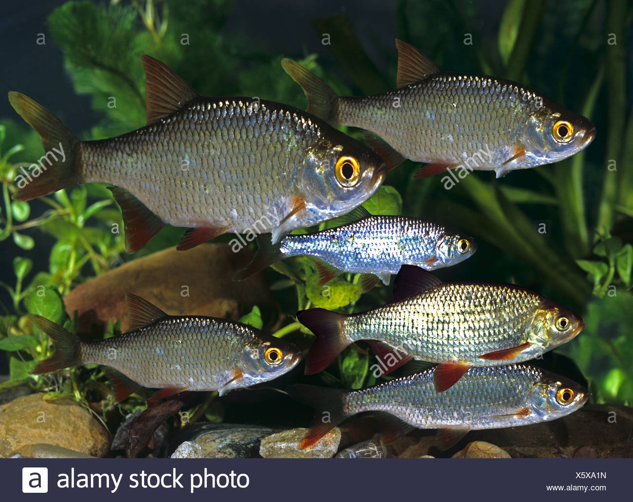 Common Rudd (Scardinius erythrophthalmus) . Group under water. Germany Stock Photo