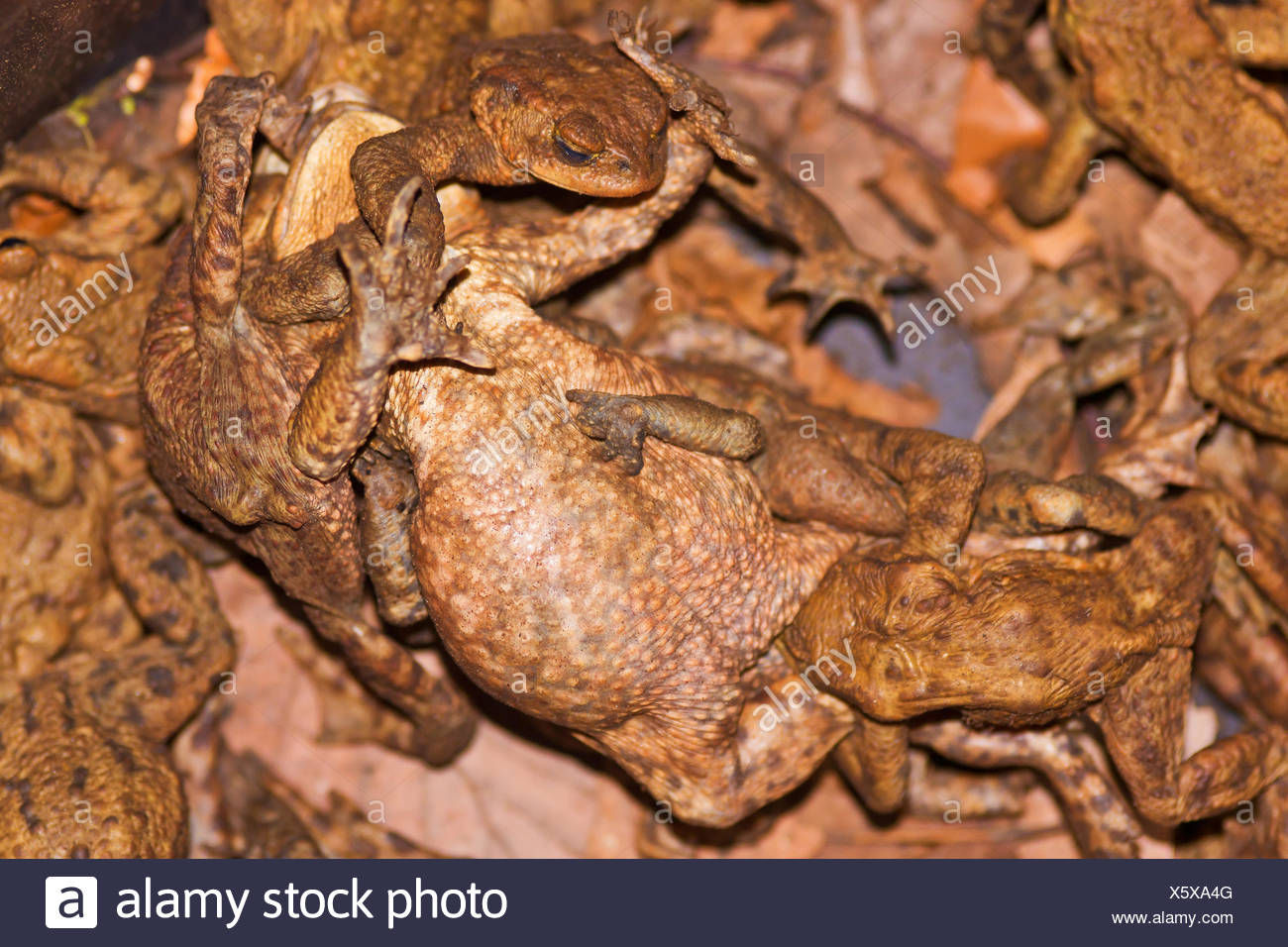 Toads, struggling in the bucket at the protective fence during the toad migration, - Stock Image