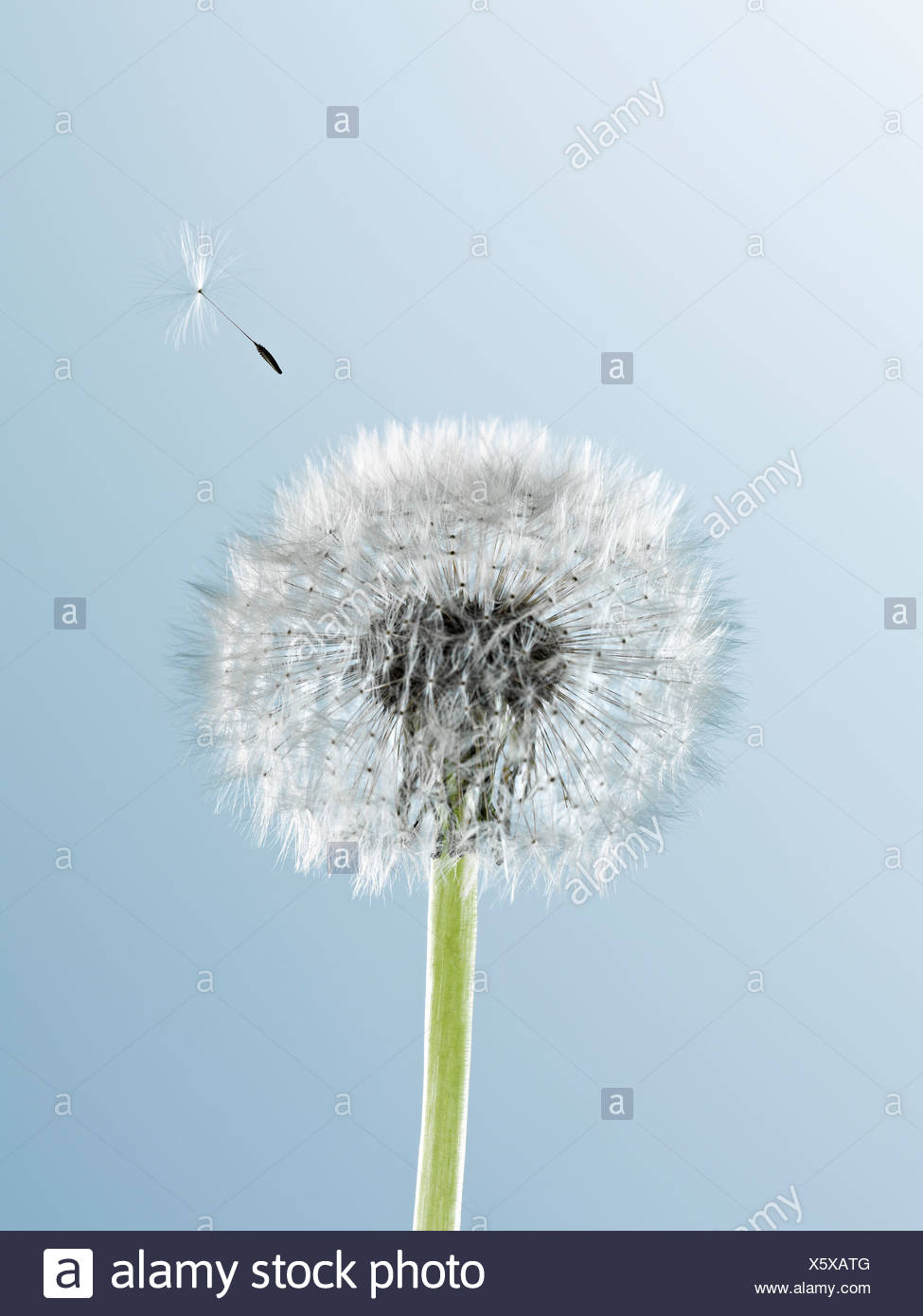 Close up of seed blowing from dandelion on blue background - Stock Image