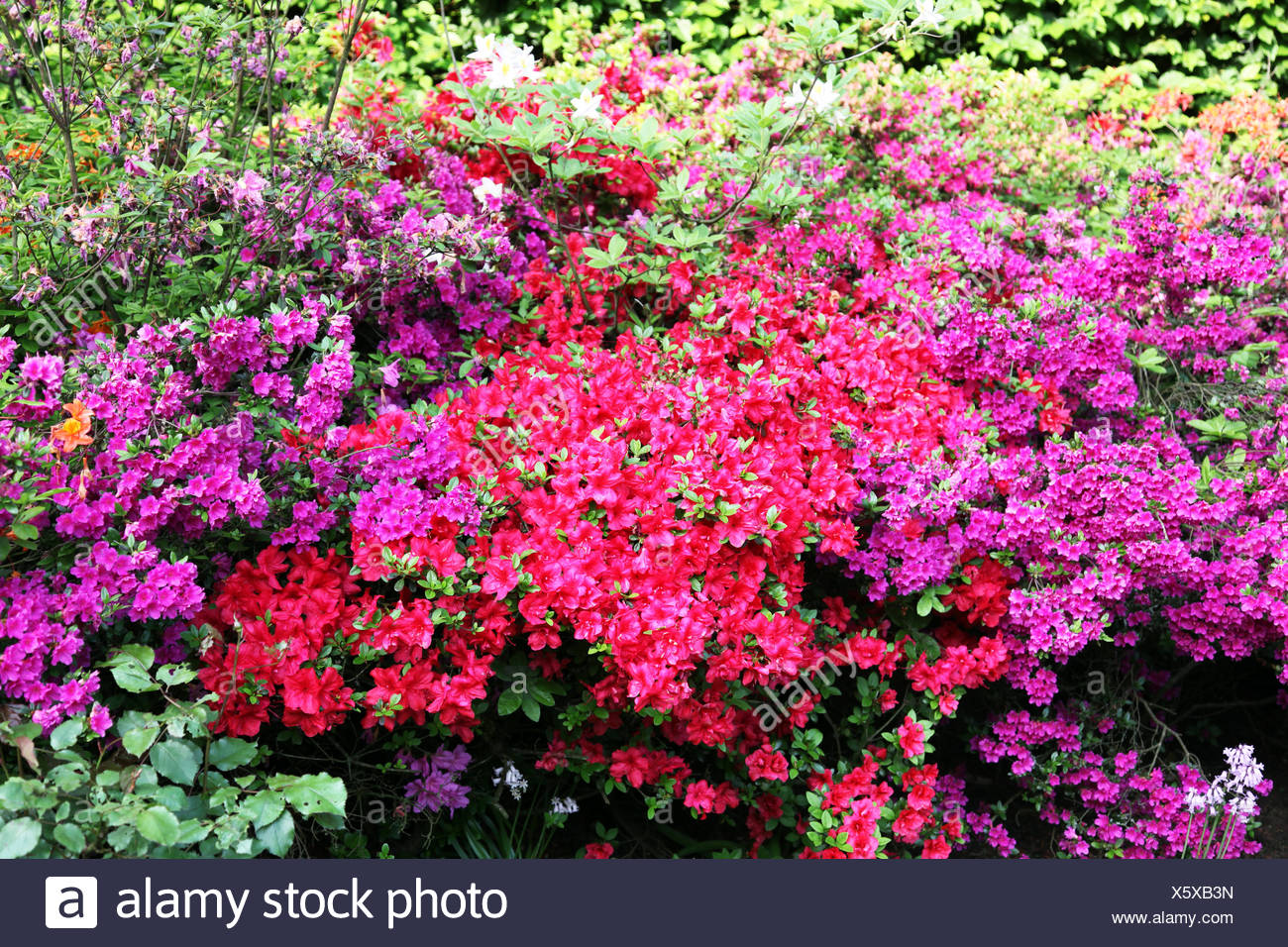 Glorious flowering rhododendron - Stock Image
