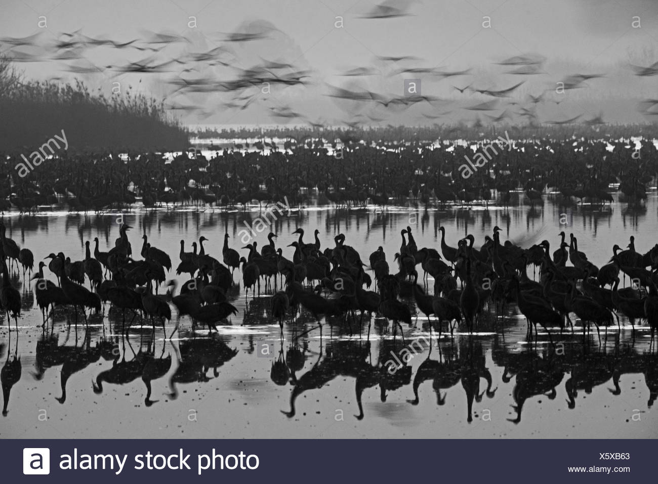 Common Cranes Grus grus, at dawn gradually leaving overnight roost on lake. They are wintering at  the Hula Lake Park, known in Hebrew as Agamon HaHul Stock Photo