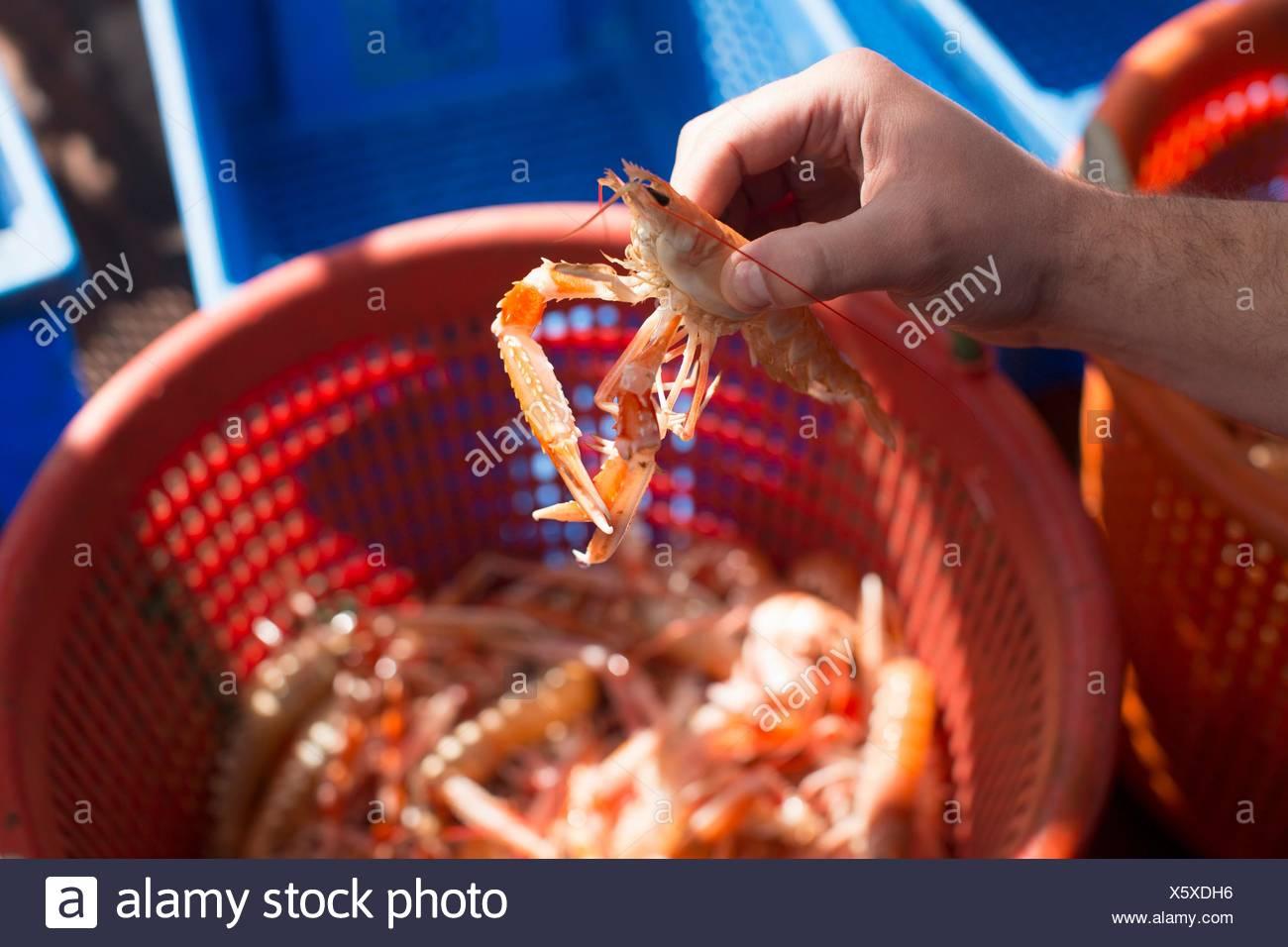 Fisherman holding up shellfish - Stock Image
