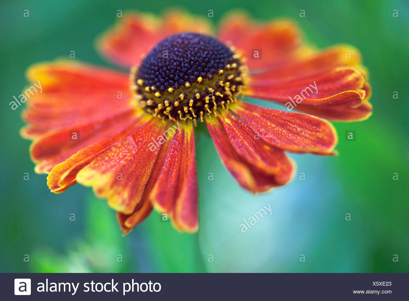 Helen's flower, Sneezeweed, Helenium 'Moerheim Beauty', Orange. - Stock Image