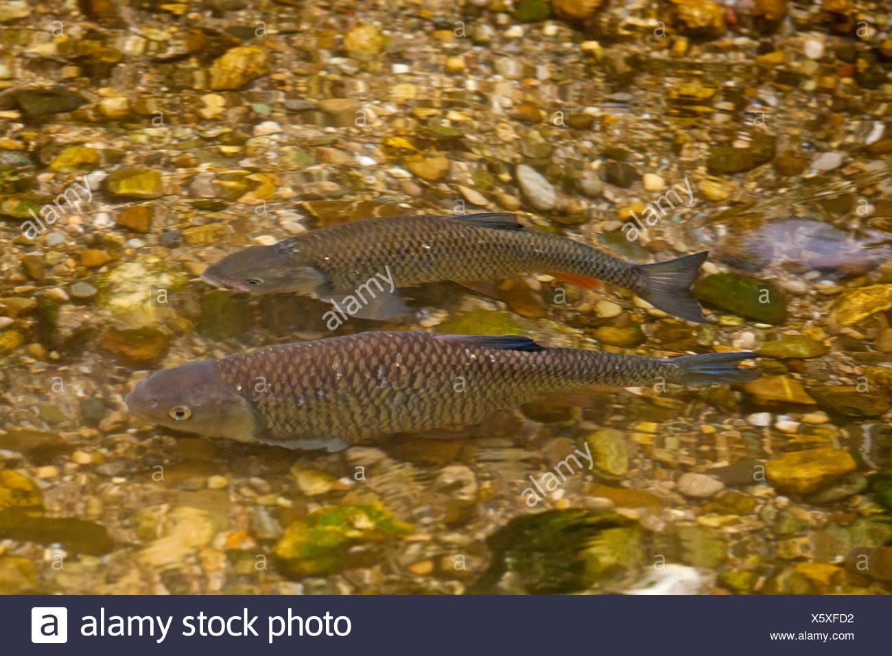 chub (Leuciscus cephalus), at spawning migration, Germany, Bavaria, Nasenbach - Stock Image
