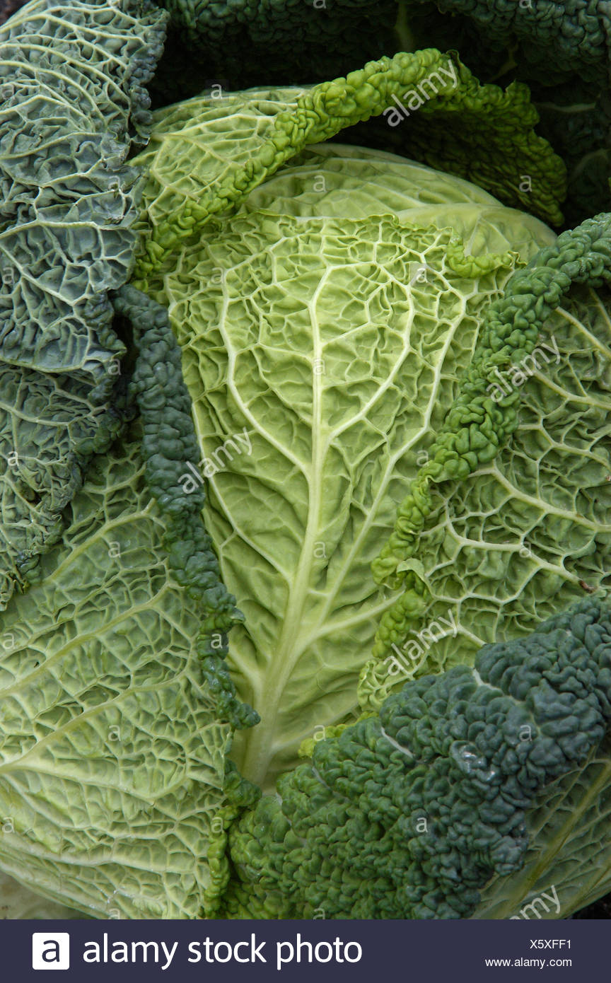 savoy cabbage (Brassica oleracea convar. capitata var. sabauda), close-up, Germany, North Rhine-Westfalia, Bergkamen, Nov 04. - Stock Image