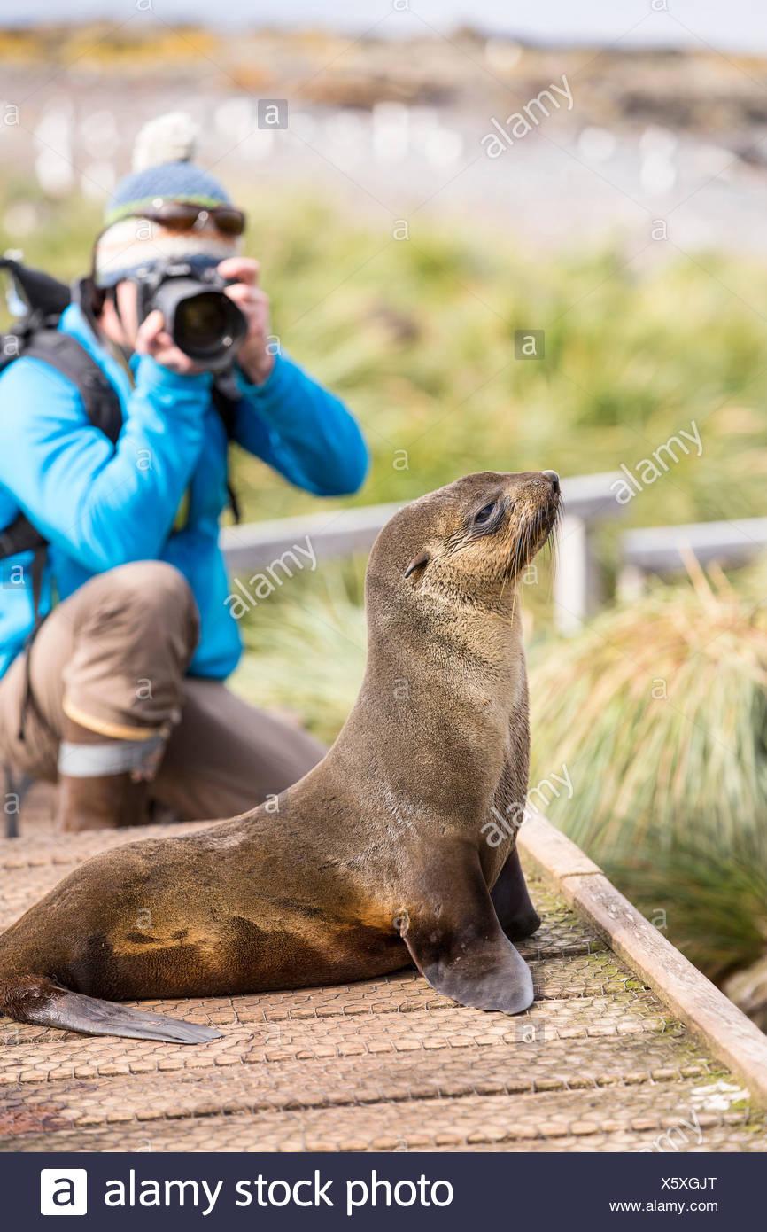 A female Antarctic Fur Seal (Arctocephalus gazella) on Prion Island, South Georgia, Southern Ocean, and a wildlife photographer. - Stock Image