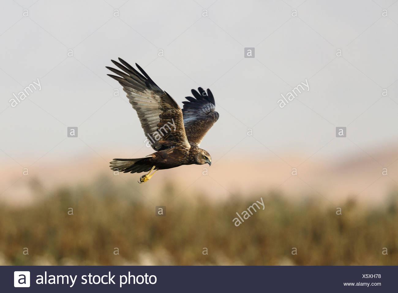 Marsh Harrier Circus aeruginosus Stock Photo