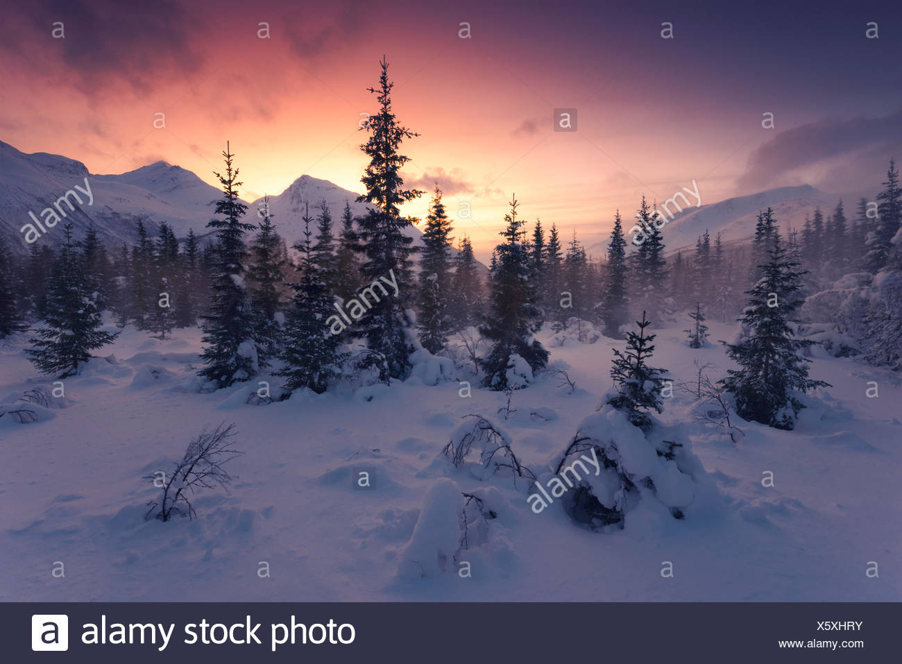 Coniferous forest in the blizzard in the Lyngen alps, Norway - Stock Image