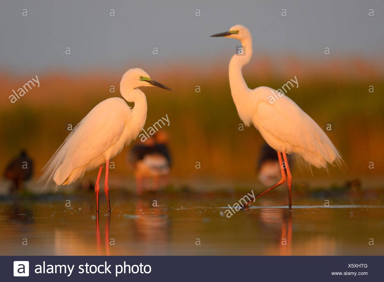 Great Egrets (Ardea alba), two adult birds in the morning light, Kiskunság National Park, Southeastern Hungary, Hungary Stock Photo