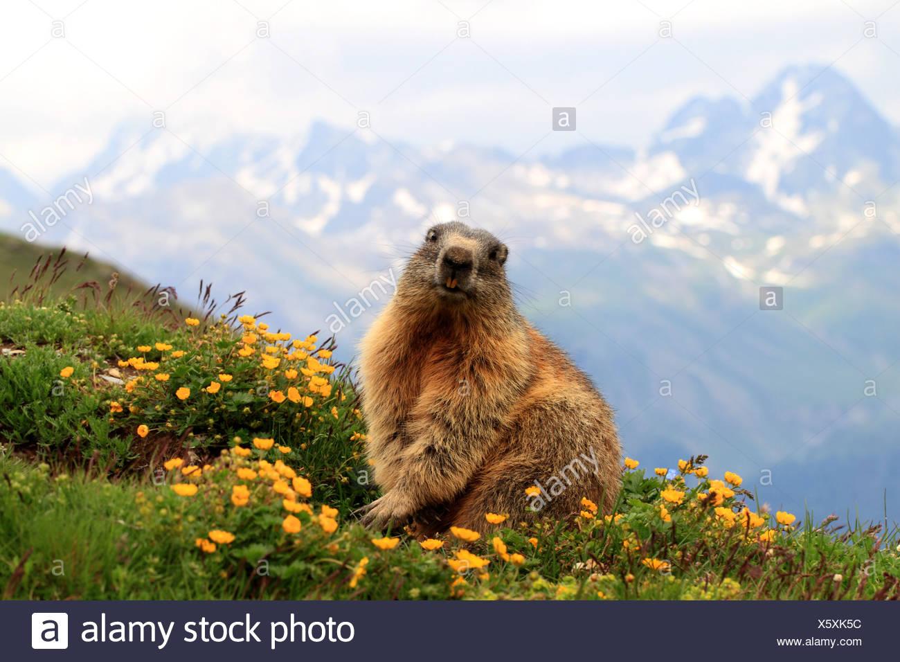 alpine marmot (Marmota marmota), in blooming mountain meadow, Switzerland, Engadine, Alp Languard Stock Photo