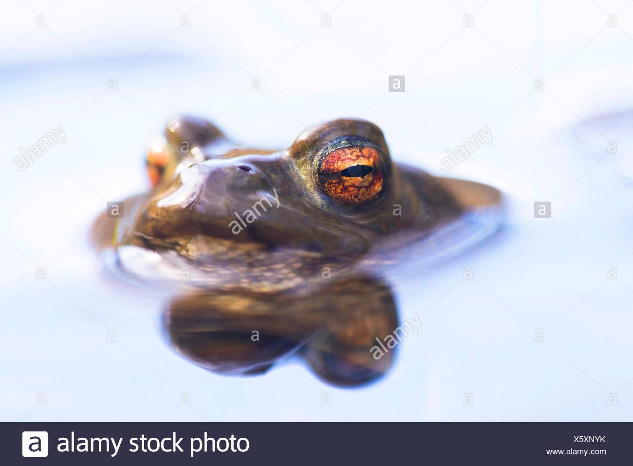 Erdkroete, Erd-Kroete (Bufo bufo), schaut aus dem Wasser, Norwegen   European common toad (Bufo bufo), at water surface, Norway  Stock Photo