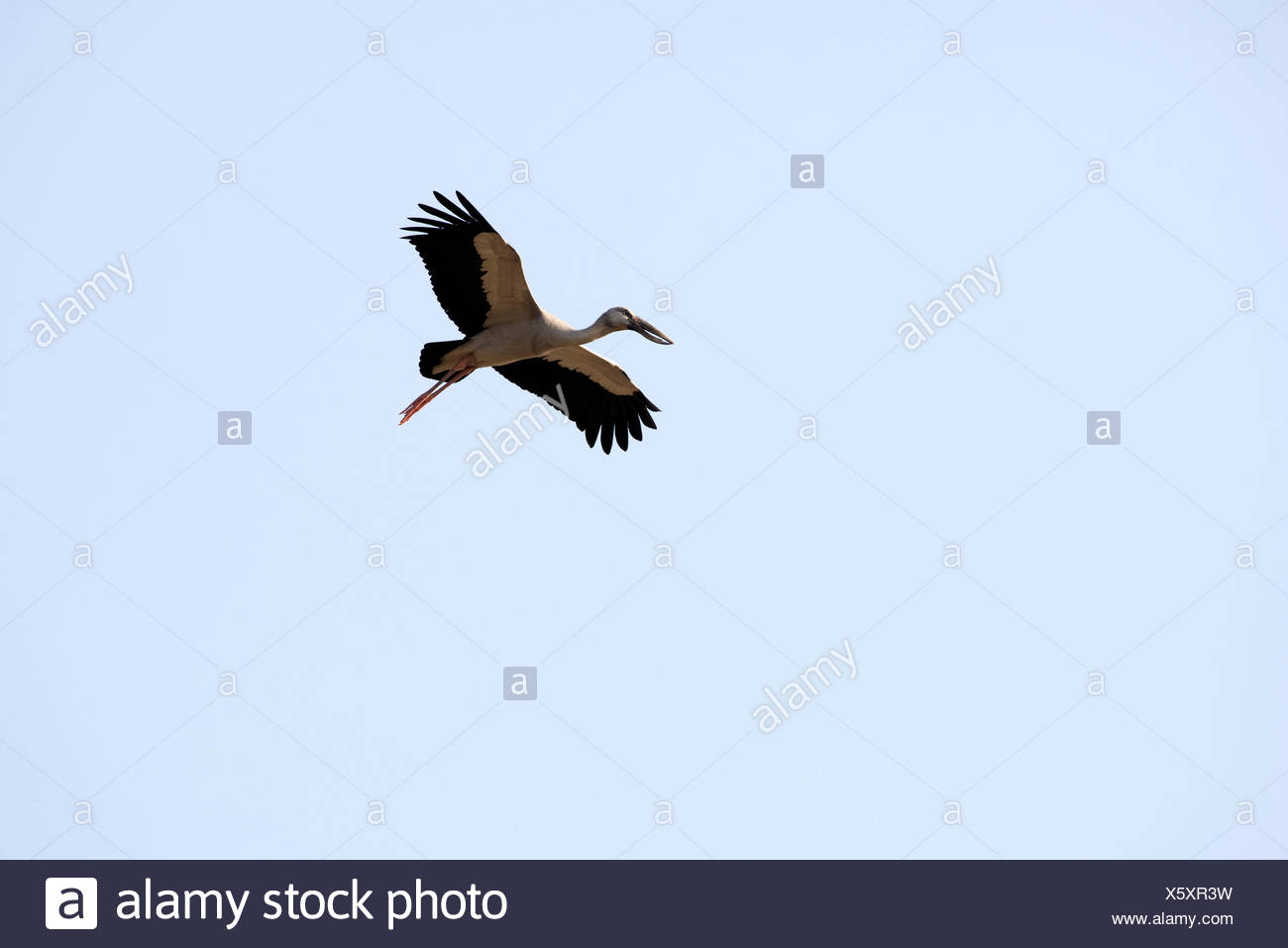 Asian openbill, flying, Thailand, Bec, ouvert indien, bird, wader, anastomus oscitans, flight - Stock Image