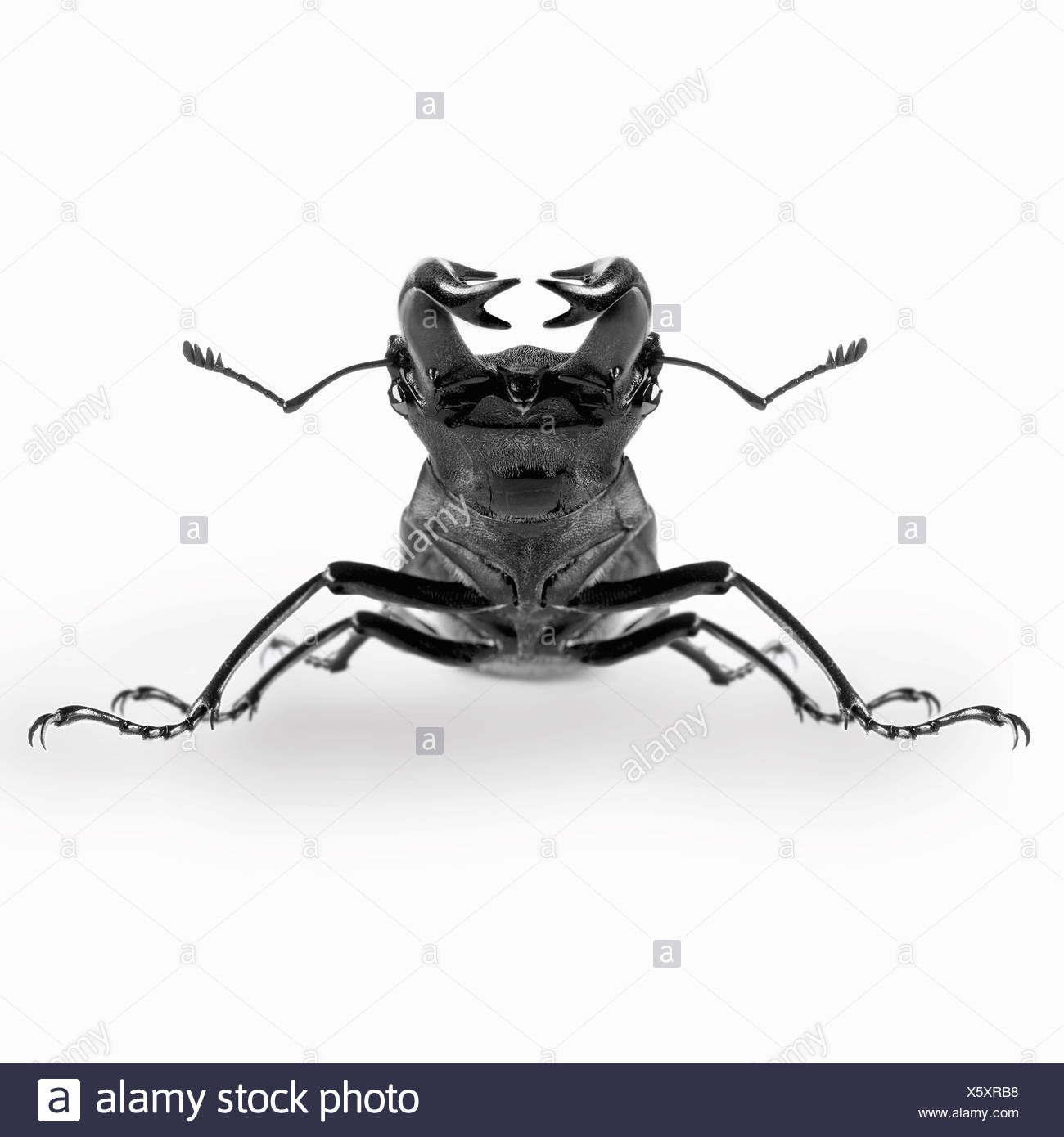 Close up of stag beetle - Stock Image