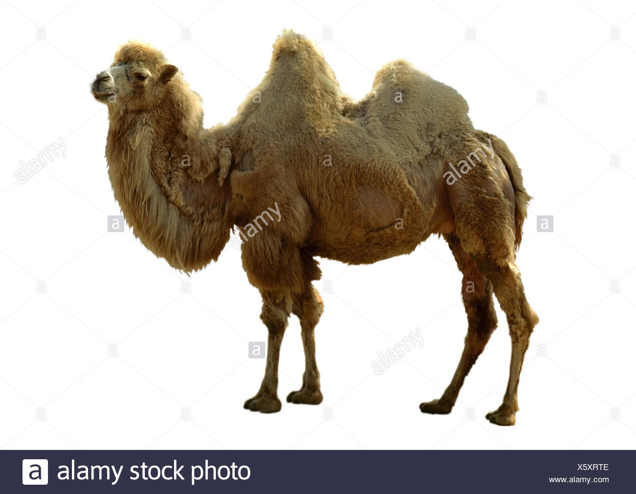 Bactrian camel, two-humped camel (Camelus bactrianus), cutted out - Stock Image