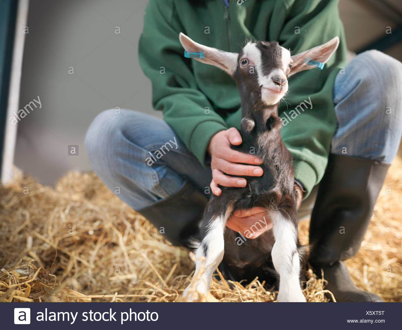 Worker holding kid goat on farm - Stock Image