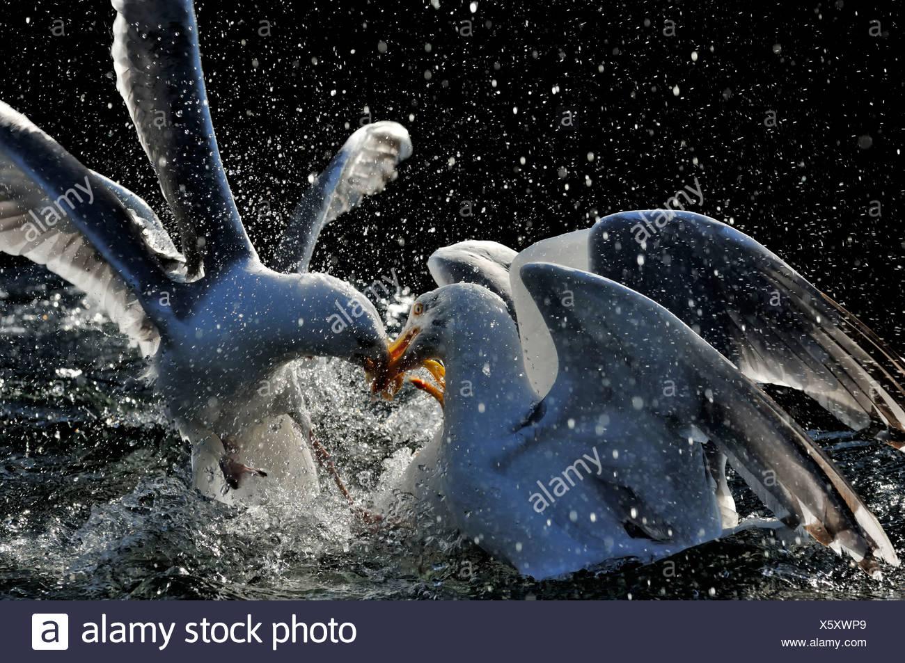 Herring Gulls Larus argentatus squabbling over food Norfolk UK - Stock Image