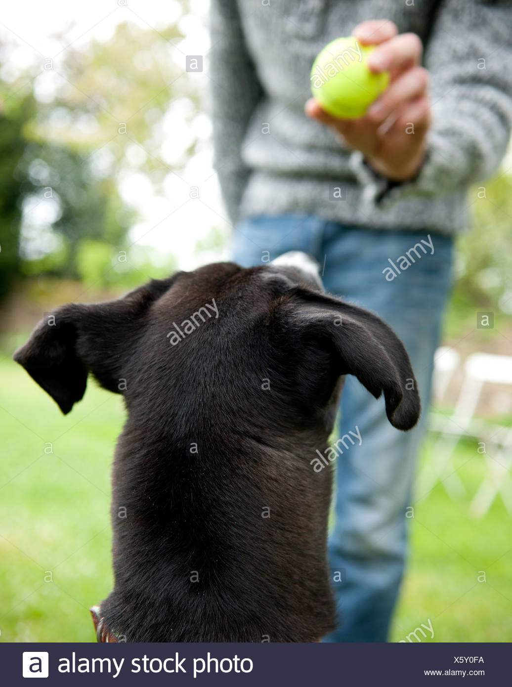 rear vieew of black dog waiting for ball to be thrown - Stock Image