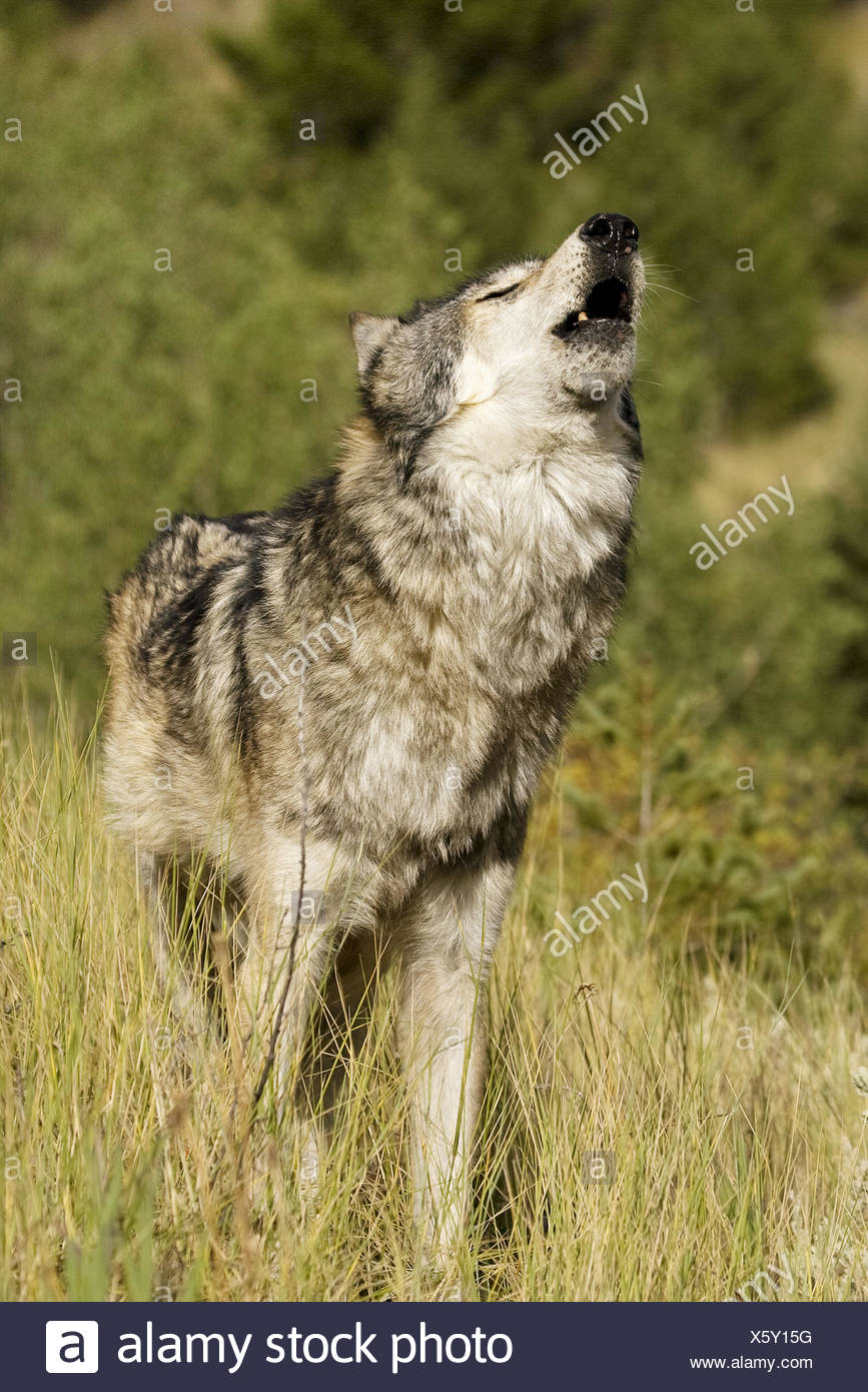 Male Wolf howls to the pack - Stock Image