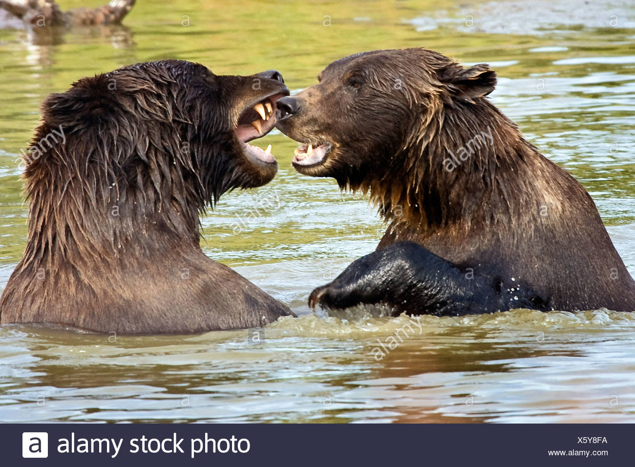 CAPTIVE Grizzly Bears play fighting at the Alaska Wildlife Conservation Center, Alaska - Stock Image