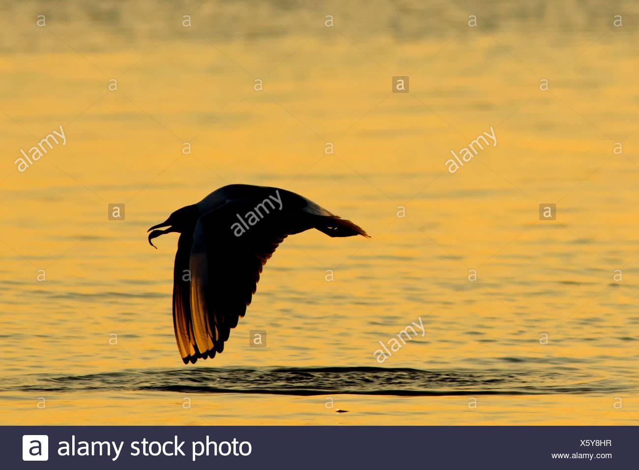 Germany, Mecklenburg-Western Pomerania, Seagull, Laridae, at sunset - Stock Image