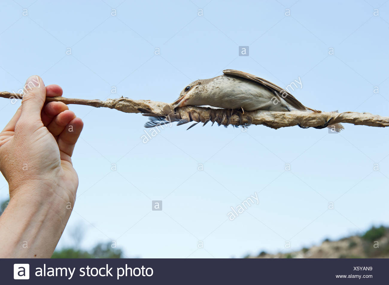 Red-backed Shrike Lanius collurio illegally trapped on limestick in olive grove in autumn Cyprus Stock Photo